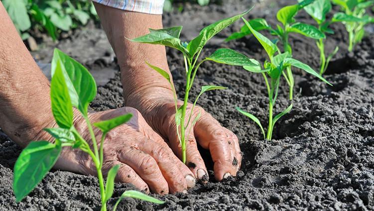 Phân bón Đầu Trâu 501 mang đến nhiều công dụng tuyệt vời cho cây trồng