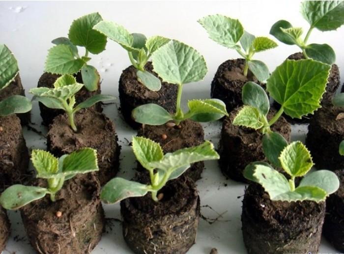 Tỷ lệ nảy mầm của hạt khi sử dụng viên nén này cao hơn khi ươm trực tiếp vào đất