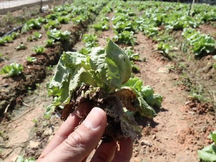Một số bệnh do đất trồng bị nấm mốc gây nên