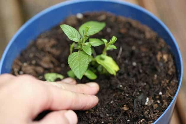 Gieo trồng hạt giống bạc hà