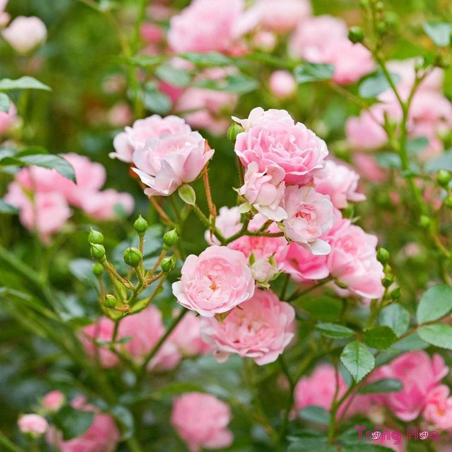 Nguyên tắc khi phun thuốc trừ sâu cho hoa hồng