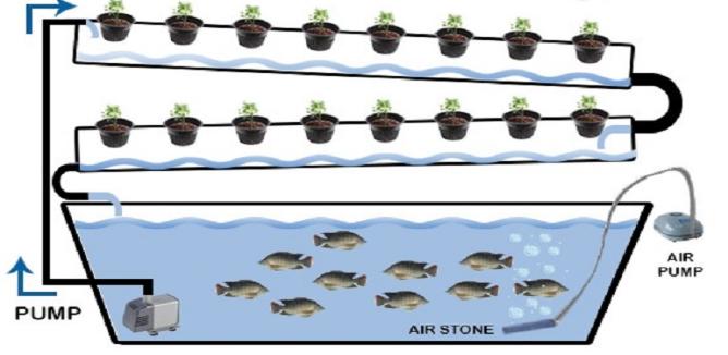 Nuôi cá trồng rau sạch nước cạn
