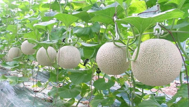 Đất trồng dưa lưới luôn cần đảm bảo độ tơi xốp và tưới nước định kỳ