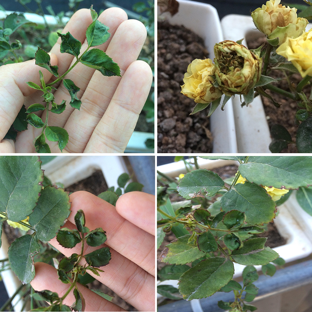 Những loại sâu bệnh gây hại cho hoa hồng theo từng thời điểm trong năm