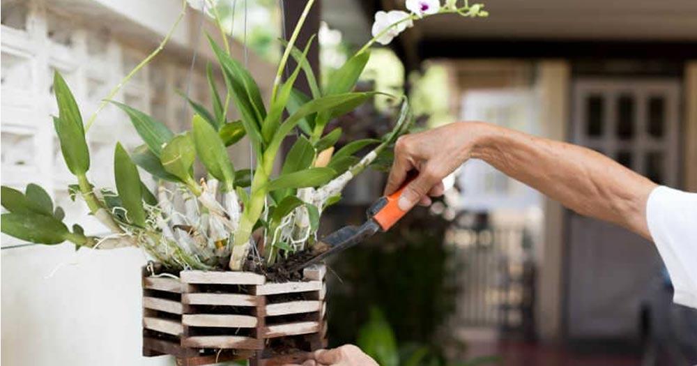 Phân bón Đầu Trâu cho lan sử dụng đúng cách sẽ mang đến hiệu quả nuôi dưỡng cây tuyệt vời