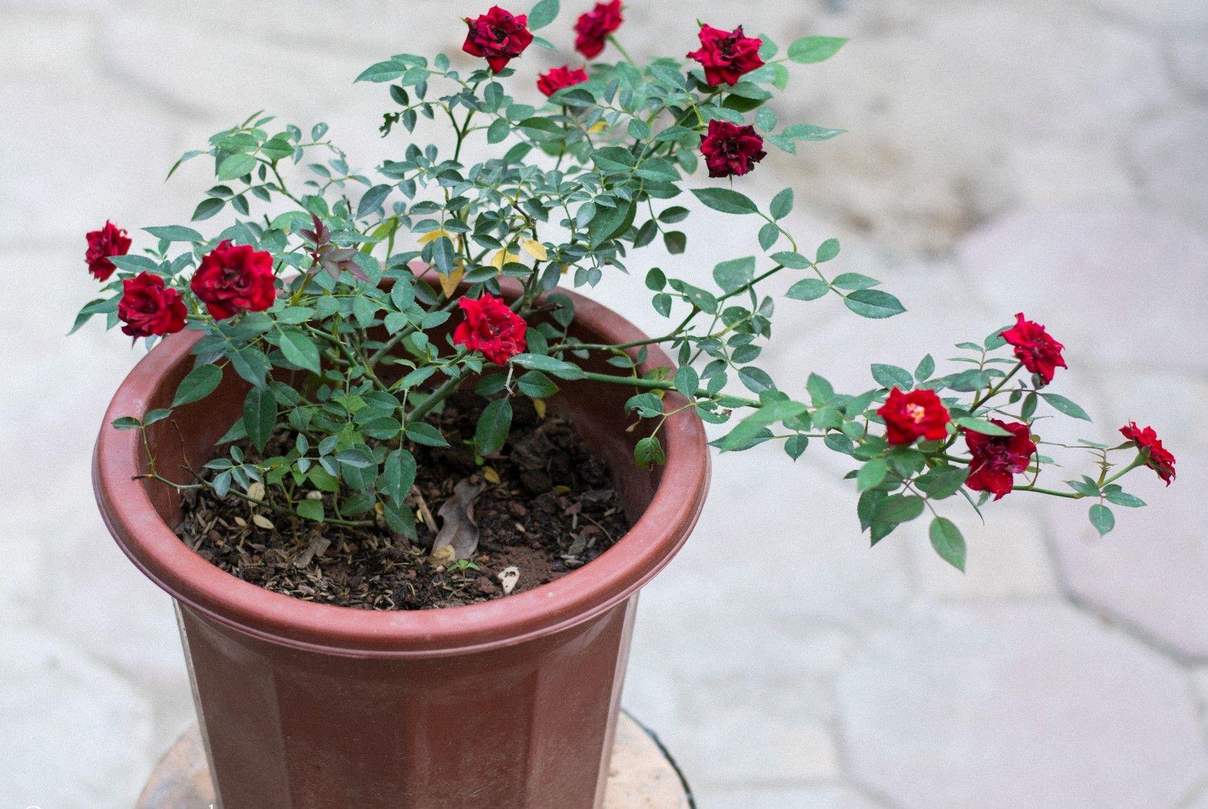 Cách sử dụng phân bón cho hoa hồng trưởng thành