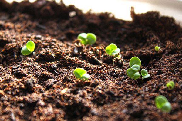 Gieo trồng hạt giống rau má tại nhà