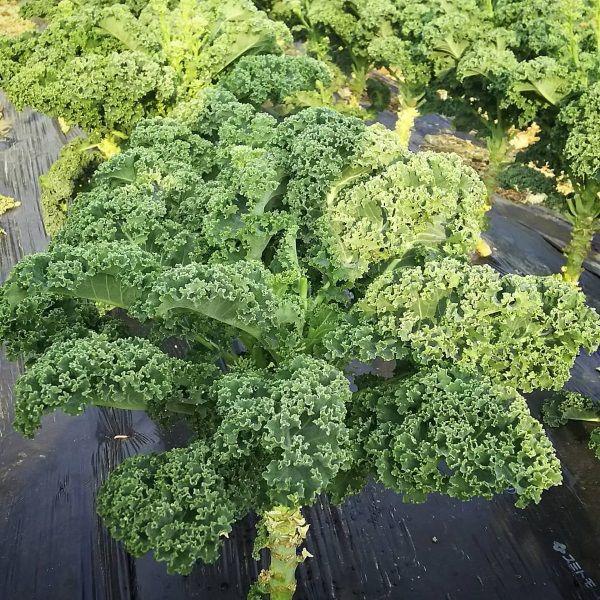 Cây cải kale
