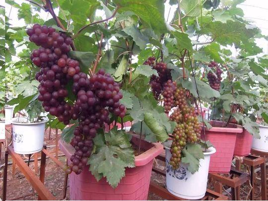 Cây nho trồng trong chậu