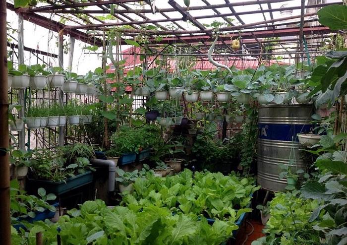 Chăm sóc rau ăn lá trên sân thượng hiệu quả