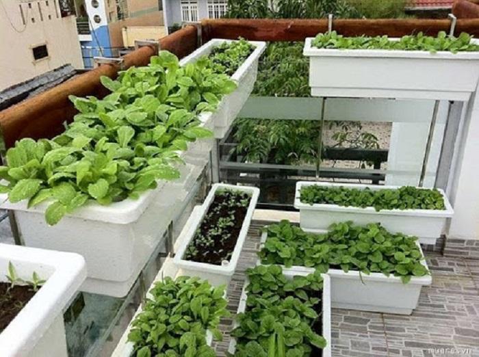 Chăm sóc rau ăn lá trên sân thượng luôn xanh tốt