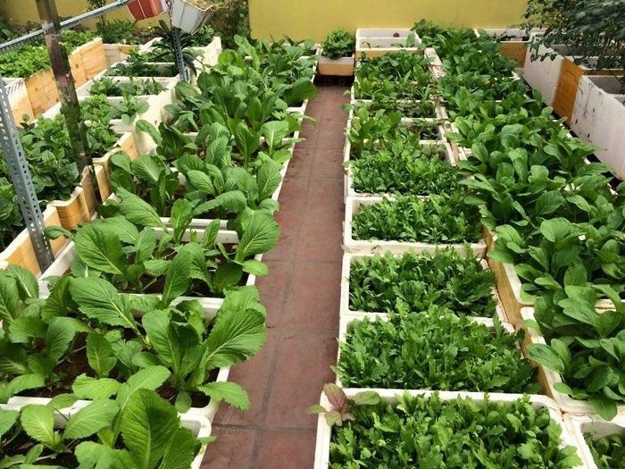 Chăm sóc rau ăn lá trên sân thượng