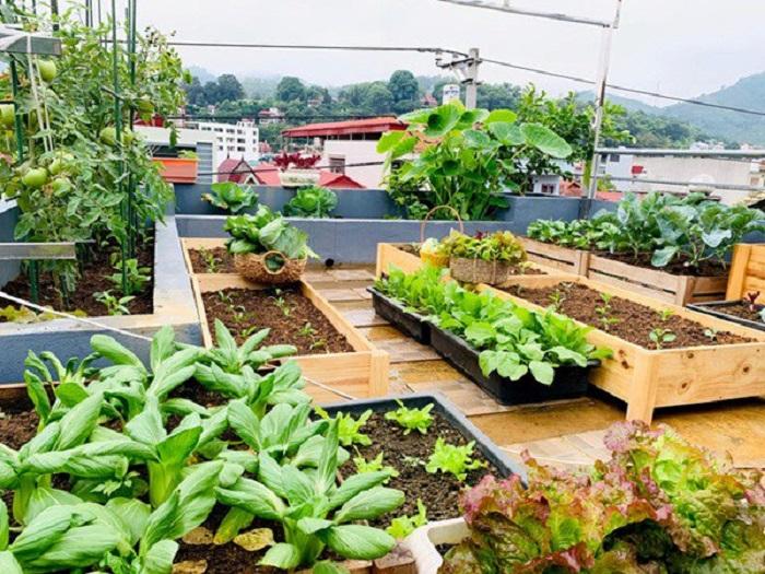 Chăm sóc rau ăn lá trên sân thượng đơn giản