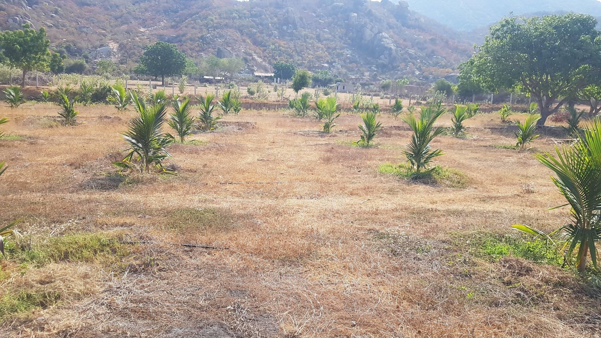 Tưới nước kết hợp với bón phân cho cây sẽ giúp tăng năng suất cây dừa