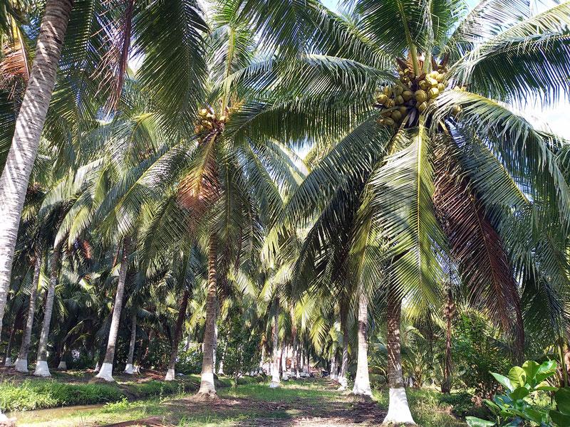 Trong mùa nắng nóng, nhu cầu nước của cây dừa là rất cao
