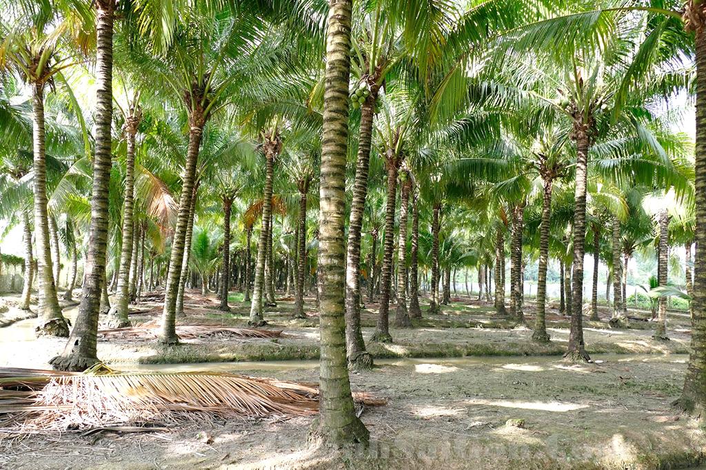 Dừa là giống cây phát triển tốt trên đất pha cát và có khả năng chống chịu mặn rất tốt