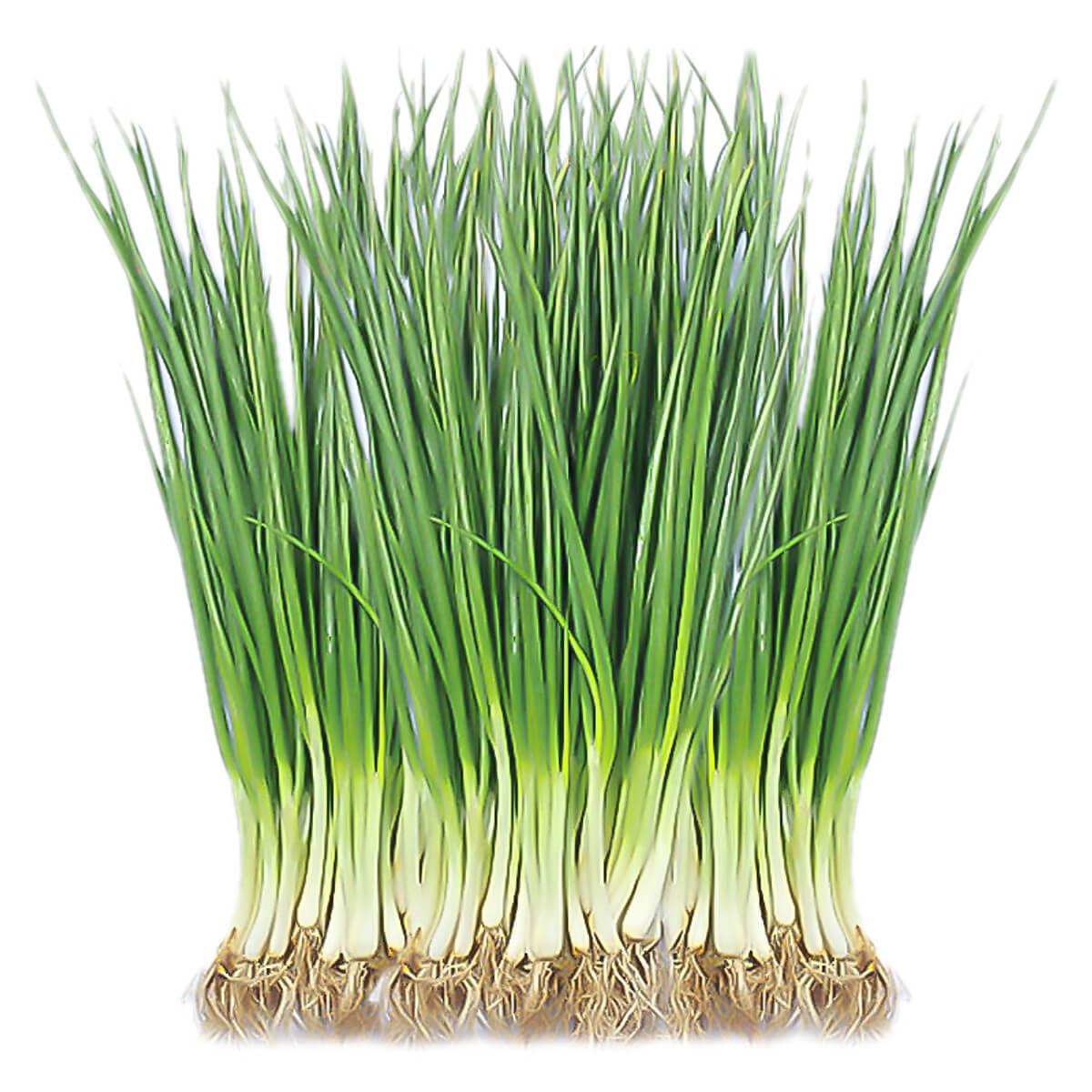 Bất mí cách chọn đất trồng hành là và kỹ thuật trồng hiệu quả