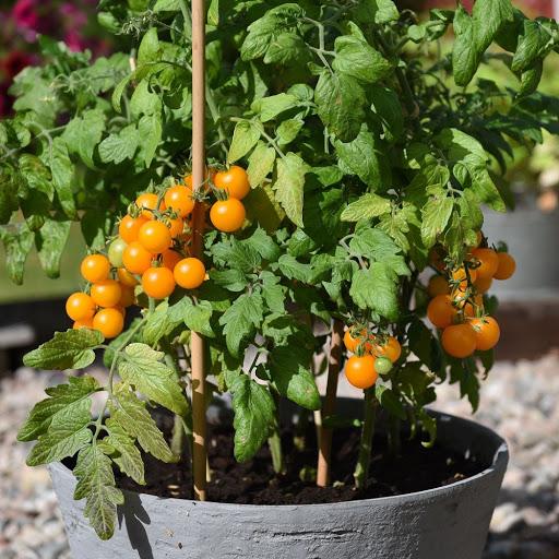 Hạt giống cà chua bi lùn vàng