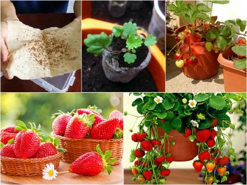 Quả dâu tây có màu đỏ tươi, vị ngon ngọt và thơm