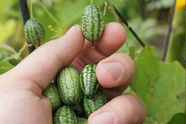 Hạt giống dưa hấu mini tý hon