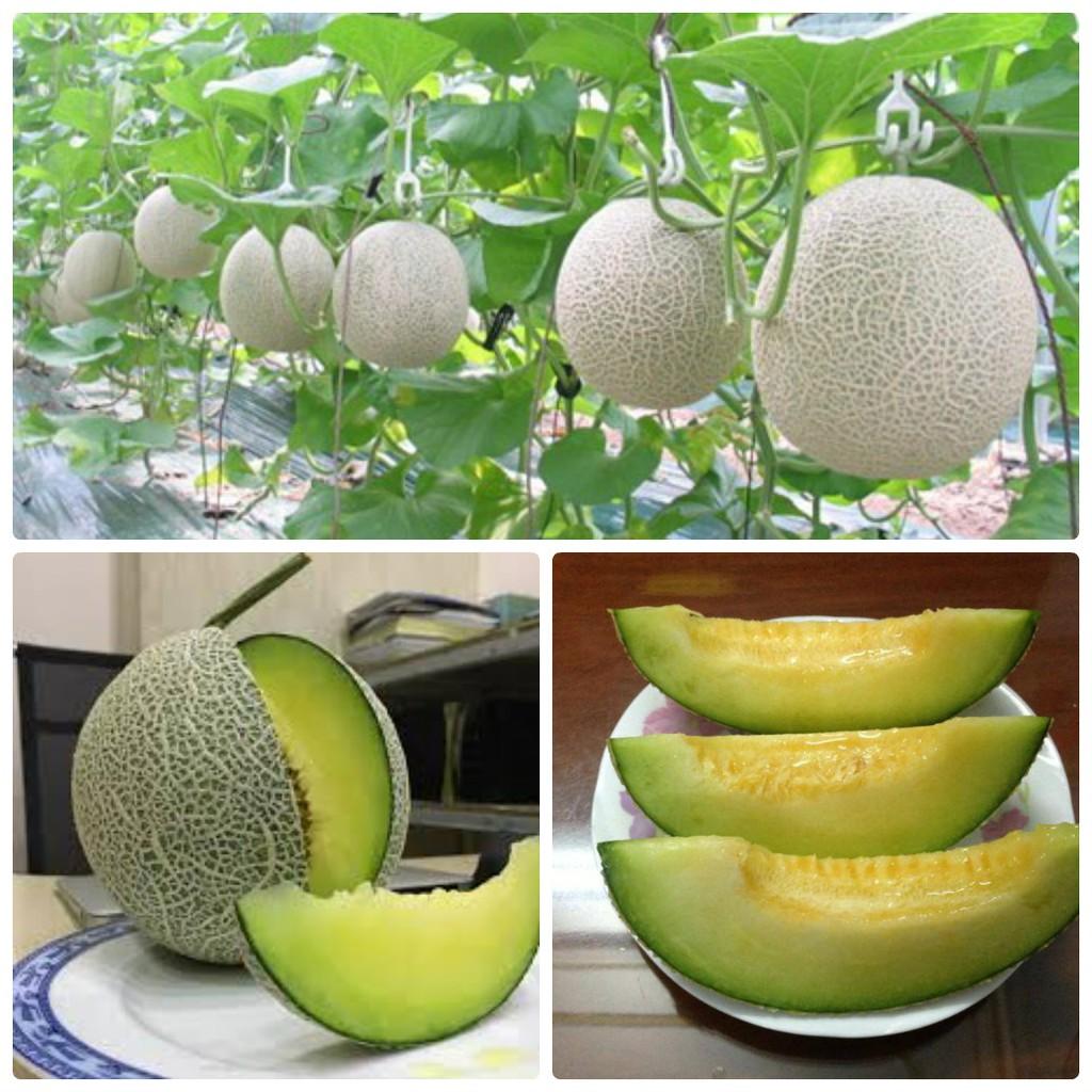 Hạt giống dưa lưới trồng theo mật độ khác nhau sẽ cho năng suất trái khác nhau