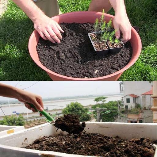 Chuẩn bị để trồng măng tây tại nhà