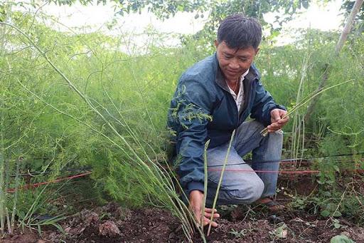 Thu hoạch măng tây sau 9 tháng chăm sóc