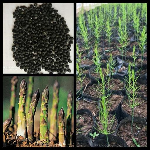 Mua hạt giống măng tây uy tín để đảm bảo tỉ lệ thành công khi gieo trồng