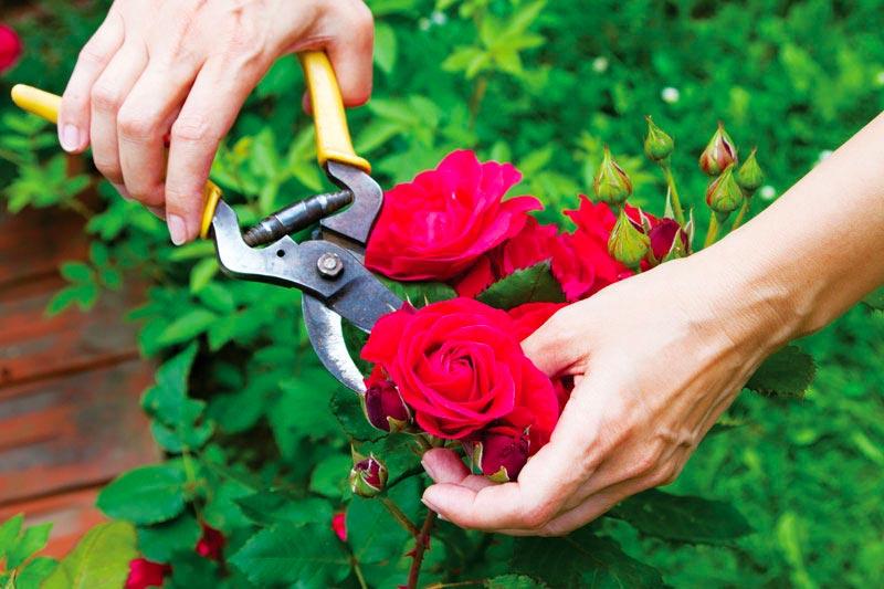 Thường xuyên cắt tỉa hoa