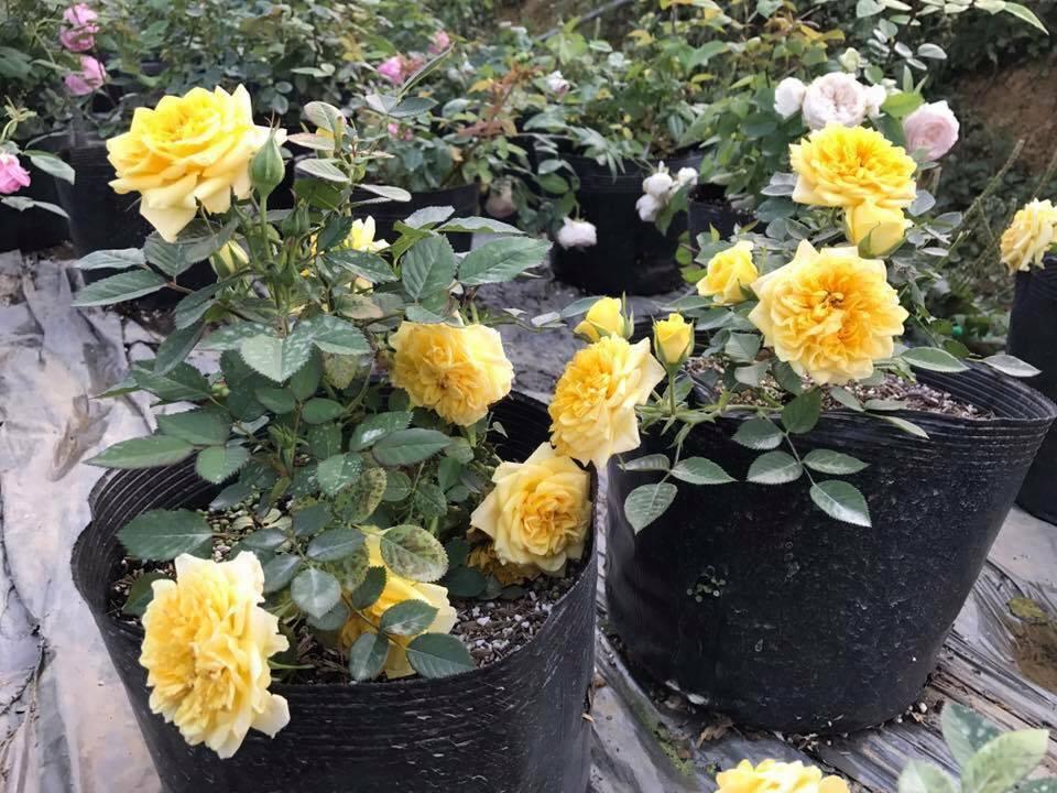 Lưu ý khi phun thuốc trừ sâu cho hoa hồng