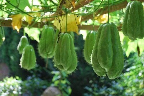 Kỹ thuật gieo trồng hạt giống su su cho năng suất cao