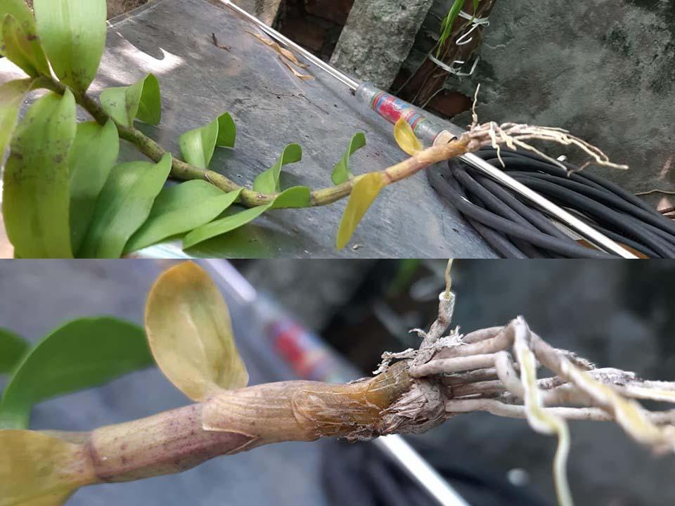 Hoa lan bị thiếu đồng