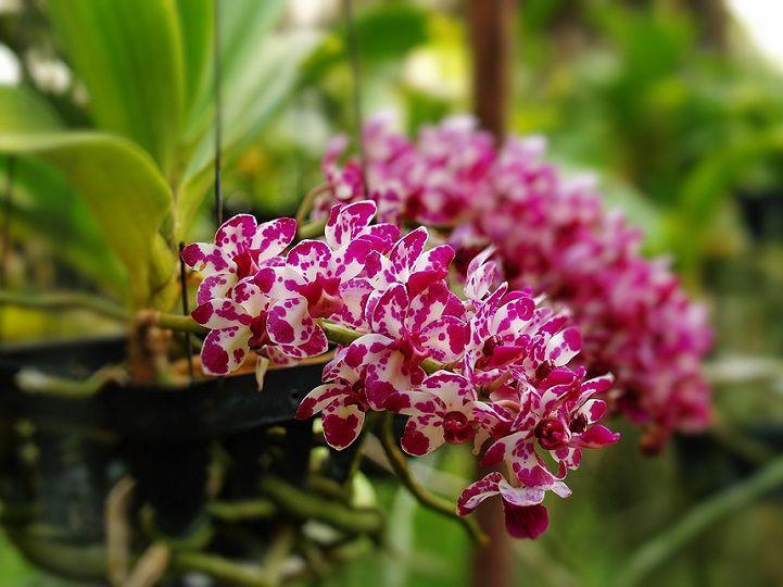 Thời điểm tốt nhất để bón phân cho cây hoa lan là vào sáng sớm hoặc chiều mát
