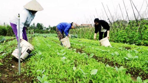 Người nông dân đang sử dụng phân bón hữu cơ cho rau
