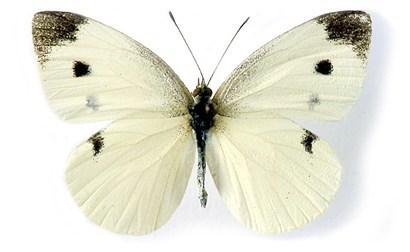 Nhận biết sâu xanh bướm trắng
