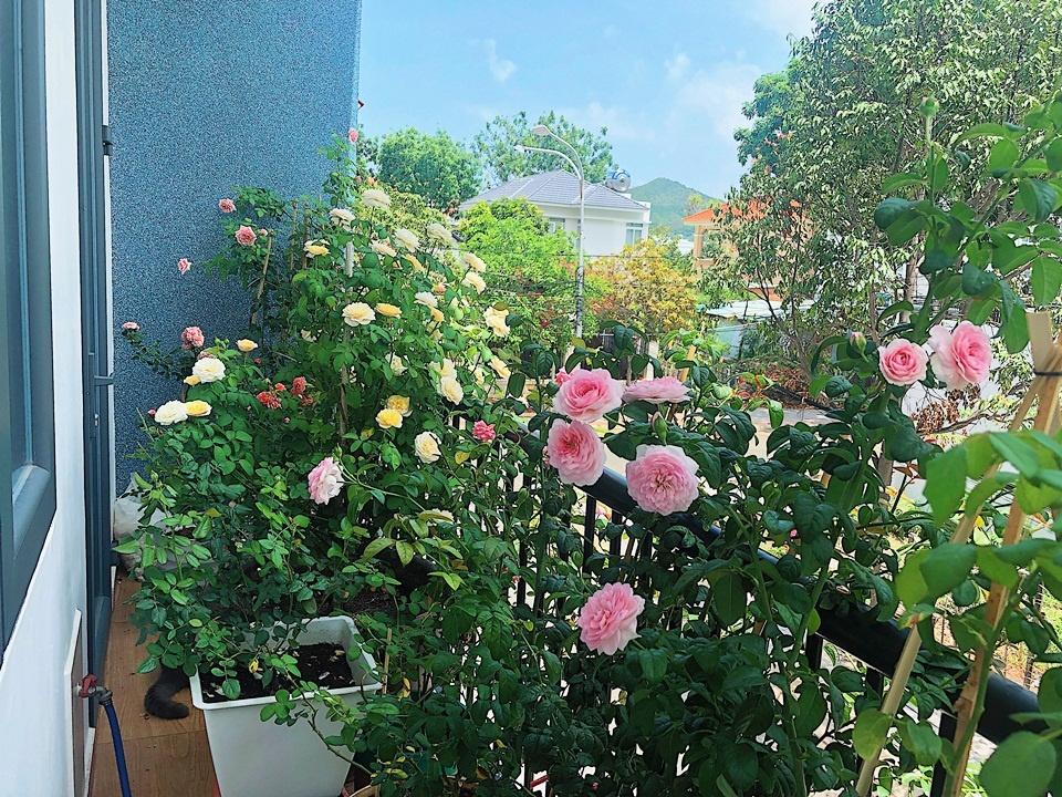 Hoa hồng thích hợp với những nơi có nhiều ánh nắng