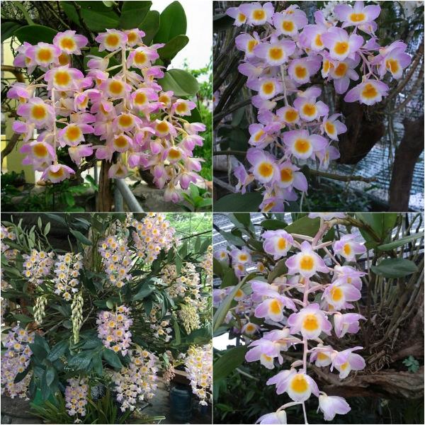 Bón phân Đầu Trâu 501 cho cây hoa lan