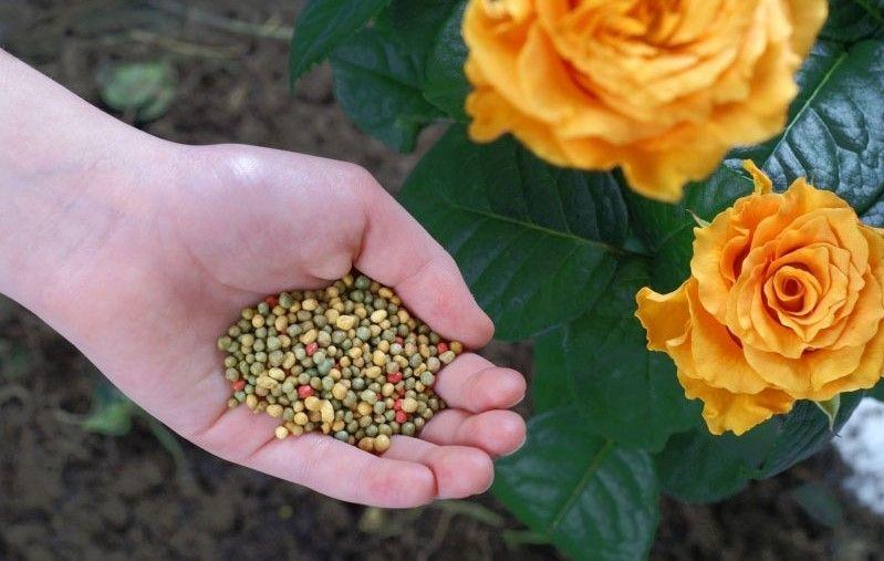 Phân bón cho hoa hồng