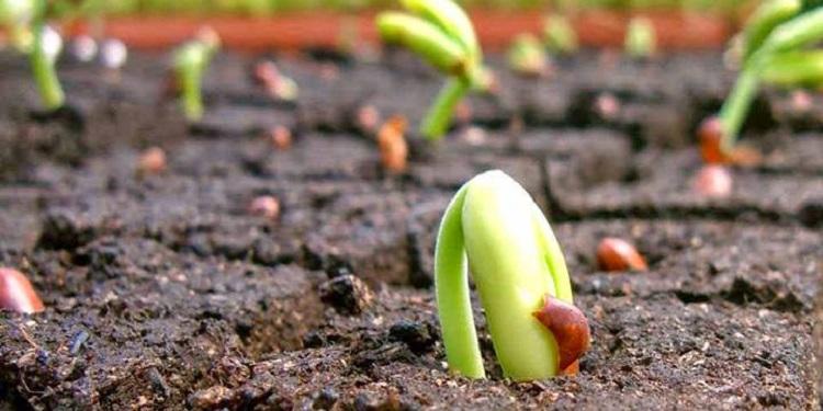Phân Đầu Trâu đa năng còn mang lại hiệu quả tuyệt vời cho các loại cây rau màu