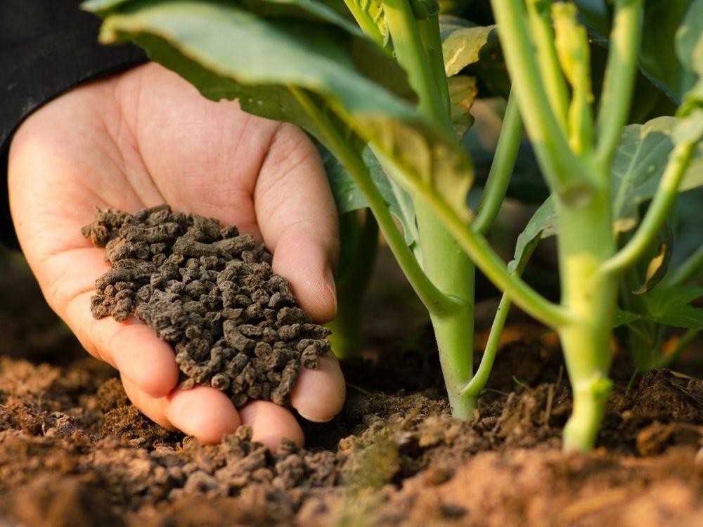 Phân bón hữu cơ đầu trâu giúp cây sinh trưởng tốt hơn