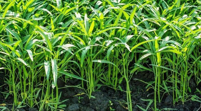Khoảng 4-6 tuần kể từ khi gieo hạt giống rau muống đã có thể thu hoạch