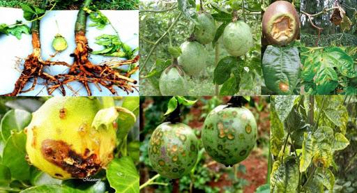 Các loại sâu bệnh phổ biến trên cây trồng