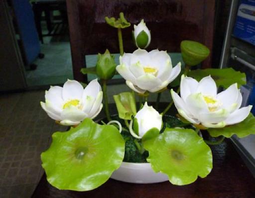 Sen Nhật được trồng trong chậu cảnh