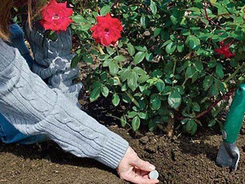 Sử dụng phân bón cho hoa hồng