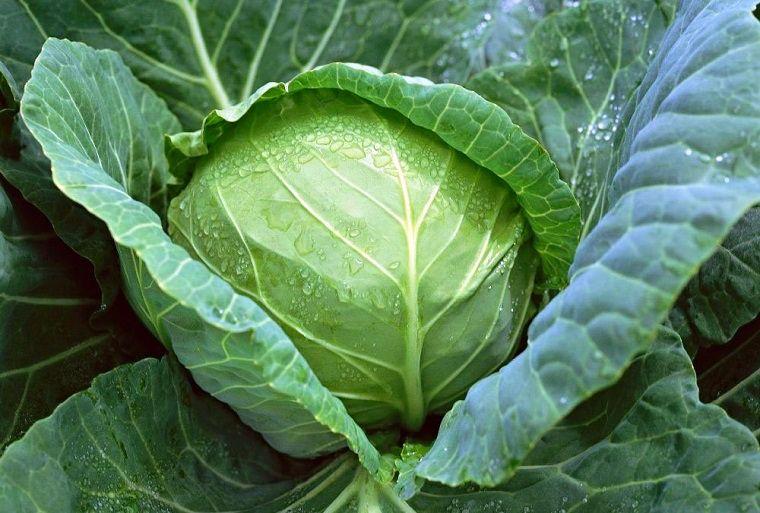 Tác dụng của hạt giống bắp cải