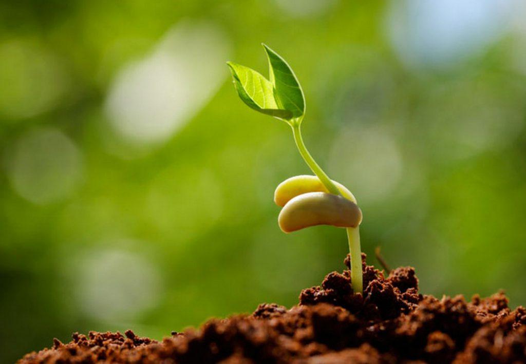 Tỷ lệ hạt nảy mầm cao ( hơn 80 %) và cây non phải có sức sống mạnh
