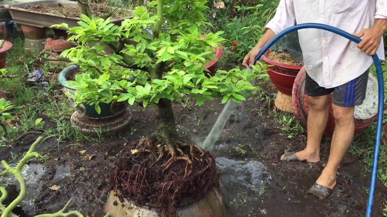 Thay đất trồng tribat cho mai