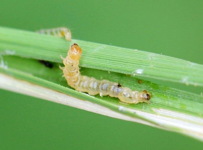 các loại thuốc trừ sâu cuốn lá hiệu quả nhất hiện nay
