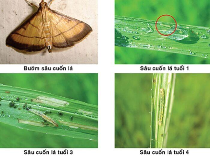 các loại thuốc trừ sâu cuốn lá hiệu quả