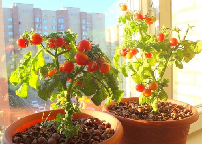 trồng cà chua tại nhà